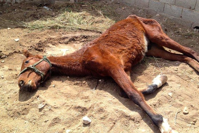 A neglected and starving horse saved by the Easy Horse Care Rescue Center in Spain.