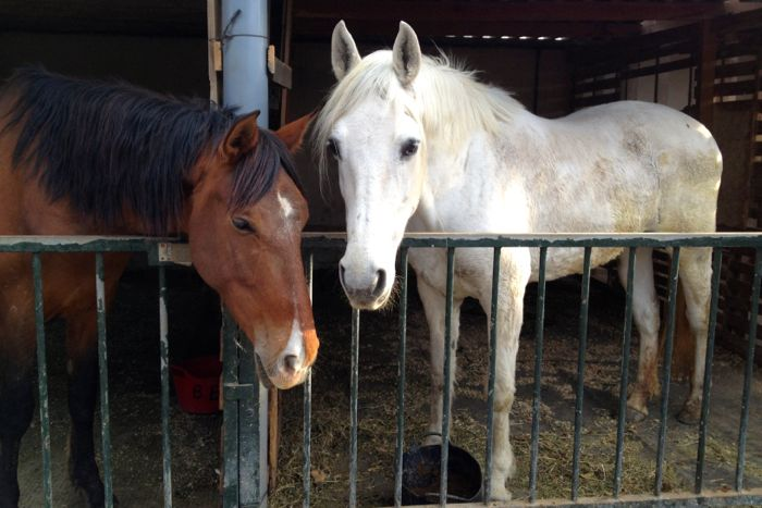 Two horses rescued from mistreatment by Spain's Easy Horse Care Rescue Centre.