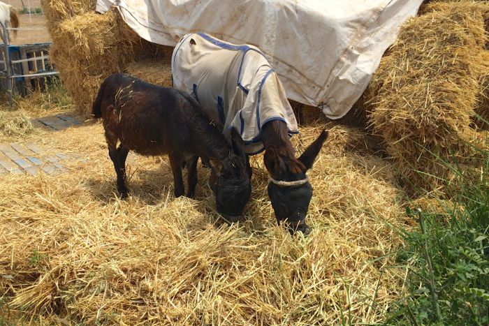 Two rescued donkeys enjoying a feed of hay at the Easy Horse Care Rescue Centre in Spain.