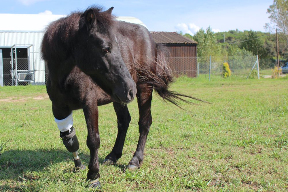Faith, the first pony in Spain to be fitted with a prosthetic leg