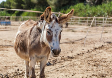 Donkey Oaty on June 17 2017 1 photo Elaine Warnock