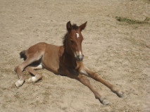 Harry Trotter as a foal