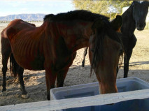 Starving Albacete horses in December 2016