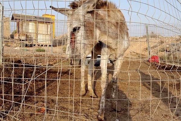 A neglected donkey saved by the Easy Horse Care Rescue Center in Spain.